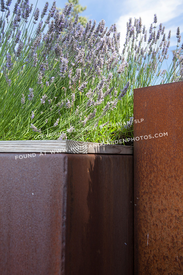 Blooming purple lavender in metal containers
