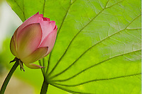 Pink Lotus flower with large green leaf