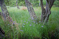 Slender Blue Flag wildflowers, Batsto River, New Jersey