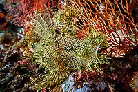 lacey scorpionfish, Rhinopias aphanes, Milne bay, Alotao, Papua New Guinea, Pacific Ocean