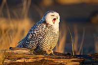 Immature Snowy Owl (Bubo scandiacus) in early morning light resting on a drift wood log. This bird is yawning or bill-stretching. Grays Harbor County, Washington. December.