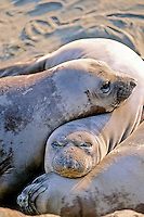 Elephant Seal pups, California
