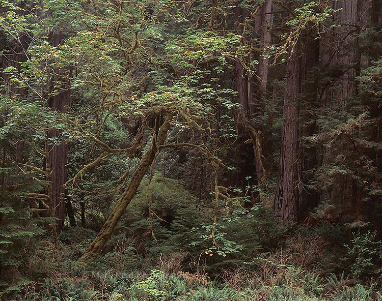 Morning light in the California Redwoods