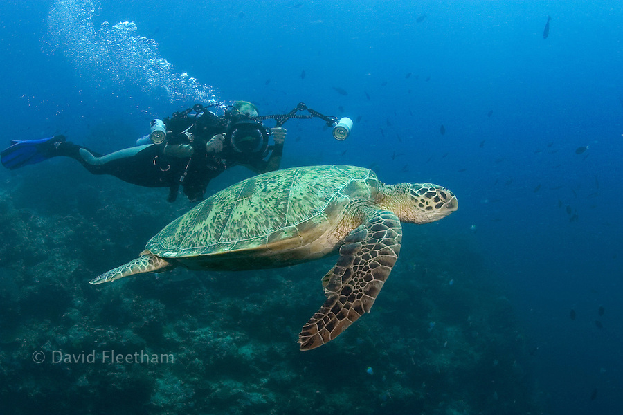 An endangered species, green sea turtles, Chelonia mydas, are a common sight around the island of Sipidan.  The diver/photographer is model released.  Malaysia.