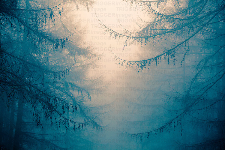 Forest trees in heavy fog