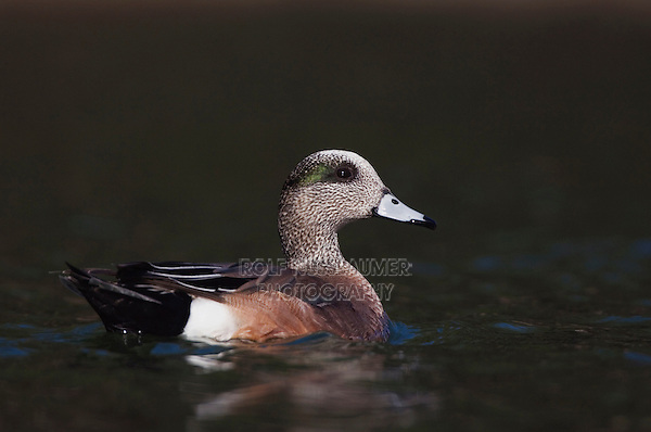 American Wigeon, Anas americana, adult male swimming, Hill Country, Texas, USA