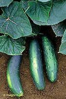 HS36-057x  Cucumber - Jazzer variety