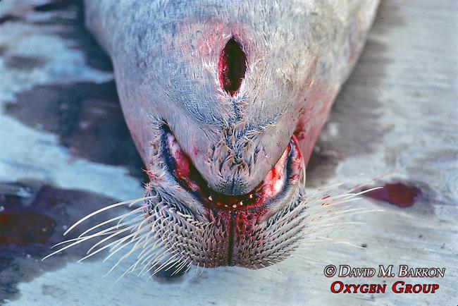 Dead Bearded Seal