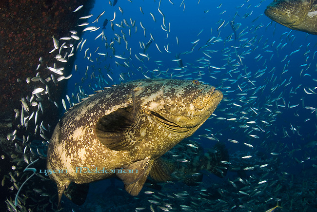Goliath Grouper Migration; Epinephelus itajara, Sept 2013; MV Caster Wreck; Florida; USA; Amazing Underwater Photography; Marine behavior