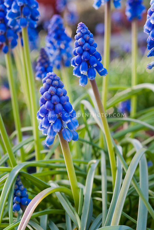 Muscari armeniacum 'Christmas Pearl' grape hyacinth spring bulbs