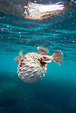 GALAPAGOS ISLANDS, ECUADOR, Tagus Cove, a puffer fish spotted while snorkeling in the waters near the NW side of Isabela Island