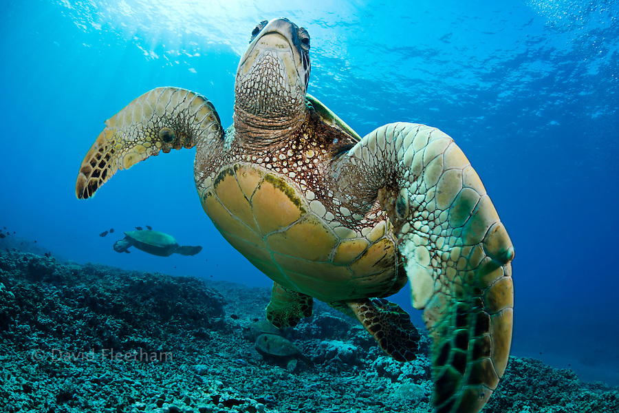Several green sea turtles, Chelonia mydas, an endangered species, gather at a cleaning station off West Maui, Hawaii.