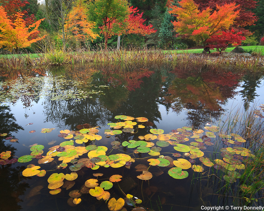 Vashon Island, WA<br /> Lily pond with Japanese maples (Acer palmatum 'Oregon sunset and 'Seiru') at  pond's far edge