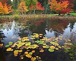 Vashon Island, WA<br /> Lily pond with Japanese maples (Acer palmatum 'Oregon sunset and 'Seiru') at  pond's far edge