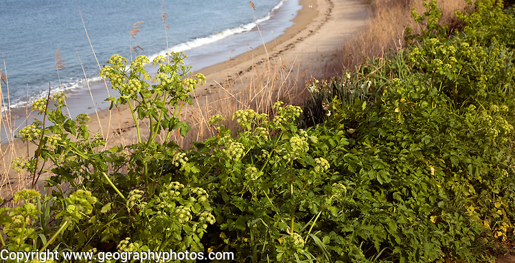 Alexanders growing by Fishermans beach, Island of Herm, Channel Islands, Great Britain