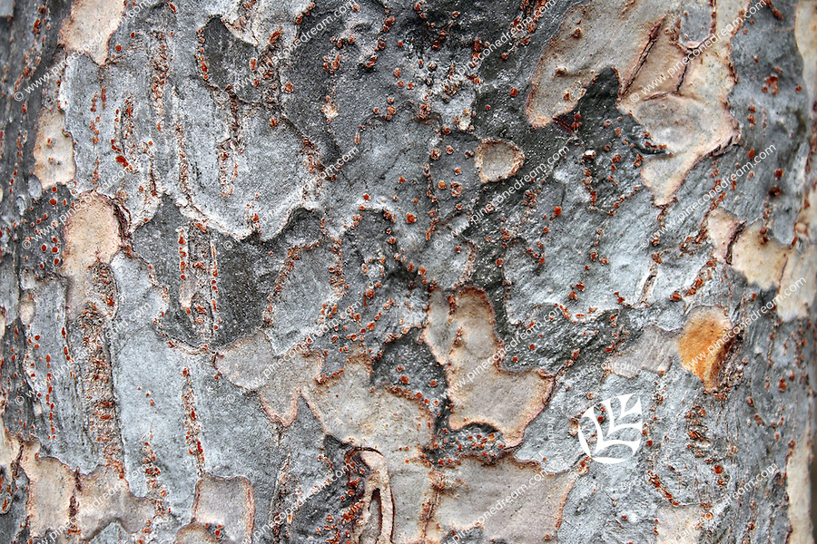 Stock photo - bark of cherry blossom tree.