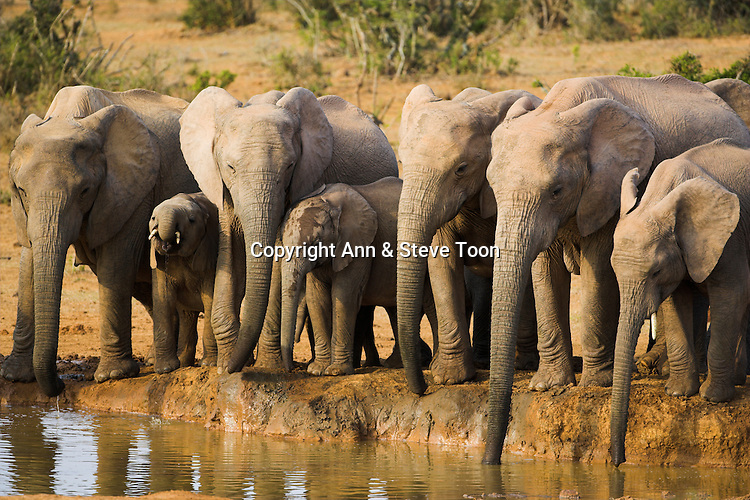 Breeding elephant herd, Loxodonta africana, water in Addo Elephant National park, Eastern Cape, South Africa