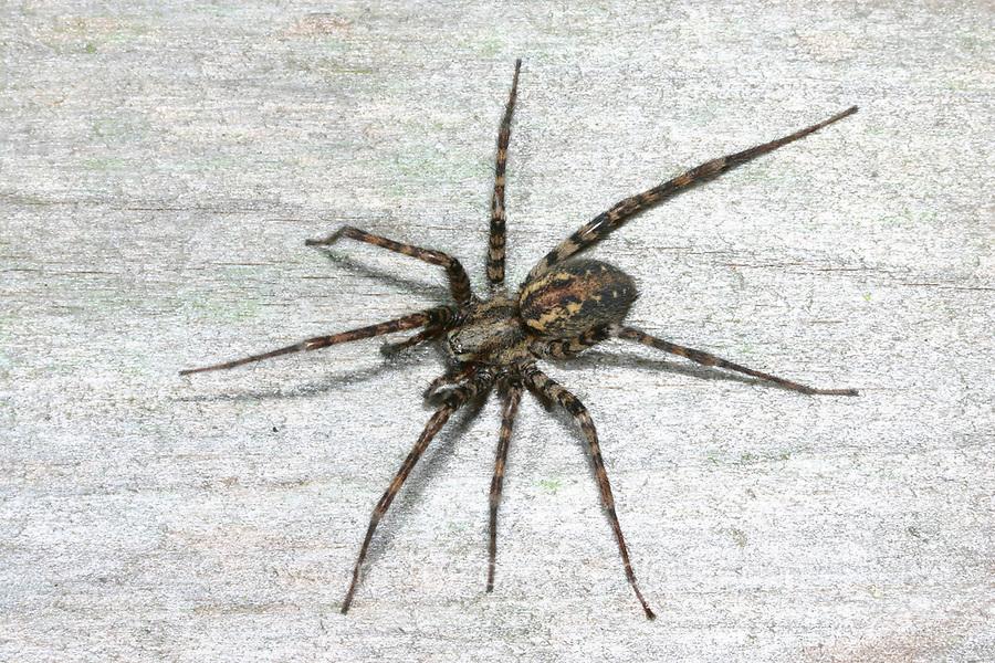 """Rostrote Winkelspinne, """"Hausspinne"""", Hauswinkelspinne, Haus-Winkelspinne, Malthonica ferruginea, Tegenaria ferruginea, charcoal spider, house spider, Agelenidae, Trichternetzspinnen"""
