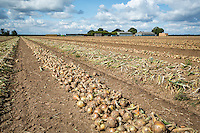 Windowed onions ready for harvest - Lincolnshire, August