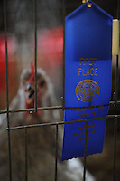 NWA Democrat-Gazette/ANDY SHUPE<br /> A hen watches Thursday, Sept. 3, 2015, during the Washington County Fair at the county fairgrounds in Fayetteville.