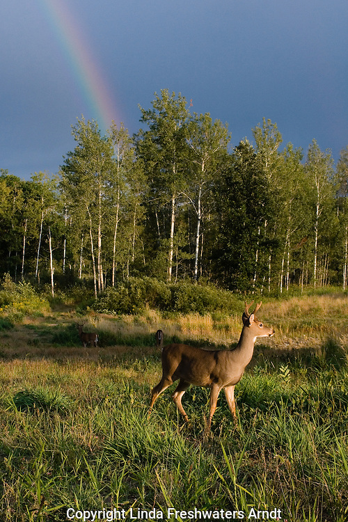 White-tailed buck foraging under a rainbow sky