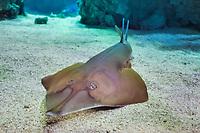 common guitarfish, Rhinobatos rhinobatos, Oceanographic Museum and Aquarium of Monaco