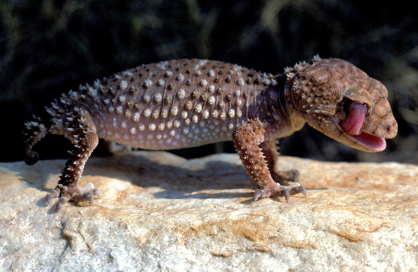A KNOB TAIL GECKO is using his tongue to wet his eyes, central Australia