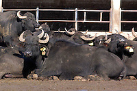 Allevamento di bufale. Breeding of buffalos. 1