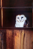 563950006 a wildlife rescue barn owl tyto alba peers out from an old barn in central colorado