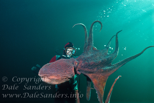 Diver and Giant Pacific Octopus (Octopus dolfleini) underwater in the Strait of Georgia, off Vancouver Island, British Columbia, Canada.