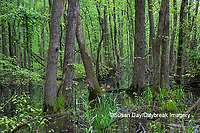 63895-15016 Swamp along Snake Road LaRue Pine Hills Otter Pond Natural Area Shawnee National Forest Union Co. IL