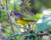 Male mourning warbler