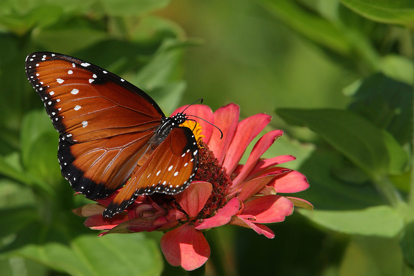 The Queen Butterfly is commonly mistaken for the Monarch..