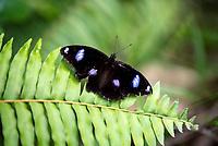 Varied Eggfly (Hypolimnas bolina nerina) - Some Host Plants:    Joyweed - Alternanthera denticulata, * Ganges Bluebell - Asystasia gangetica , *Paddy's Lucerne Sida Rhombifolia