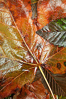 Wet fallen autumn leaves, Washington Cascade Mountains
