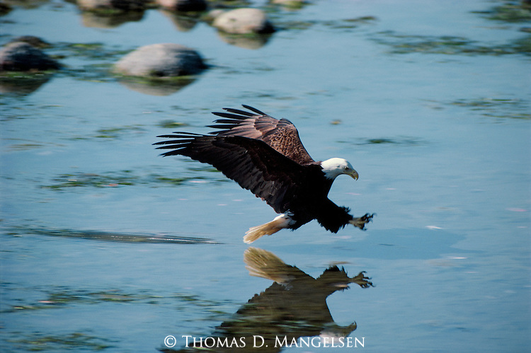 A Bald Eagle dives down towards blue waters in Alaska.