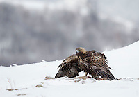 Golden Eagle, Aquila chrysaetos, adult male in snow mantling prey, Bulgaria