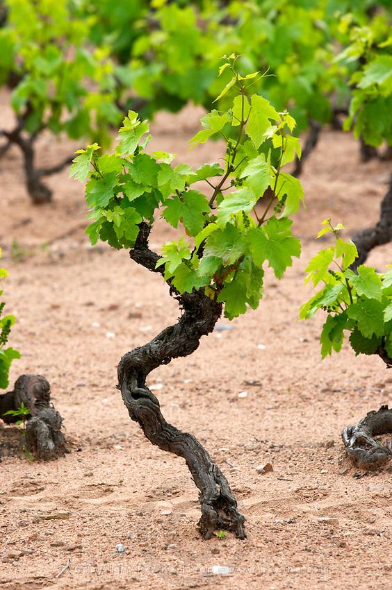 gamay gobelet training vineyard domaine h lapierre beaujolais burgundy france