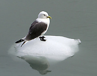 Black-legged kittiwake in breeding plumage standing on floating ice