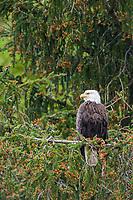 Bald Eagle, Cordova, Alaska