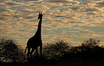 TANZANIA - JULY 4:  A Maasai Giraffe (giraffa c. tippelskirchi) looks on over the tops of trees at sunset in the Selous Game Reserve on July 4, 2010 in Tanzania, Africa. The Masasai Giraffe, also known as the Kilimanjaro Giraffe, occurs in central and southern Kenya and Tanzania and it is estimated that fewer than 40,000 remain in the wild.