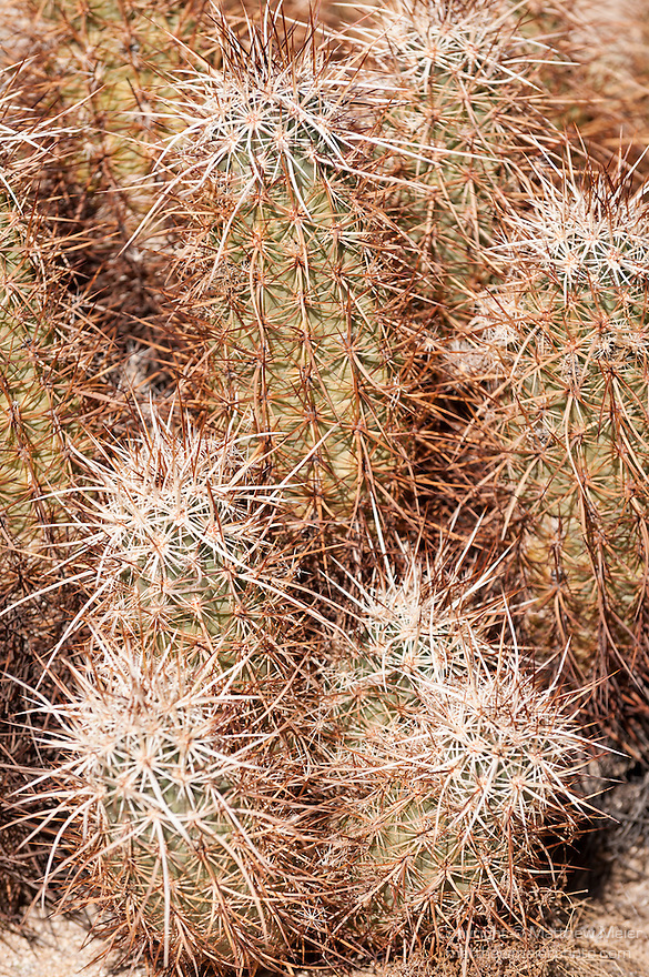 Joshua Tree National Park, California; Cholla Cactus Garden, Hedgehog Cactus (Echinocereus engelmannii), also known as Calico Cactus, sits amongst the Teddy-Bear Cholla cactus