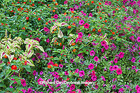 63821-22006 Red Spread Lantana (Lantana camara) Pink Tidal Wave Petunias (Petunia) & Sun Coleus, Marion Co., IL