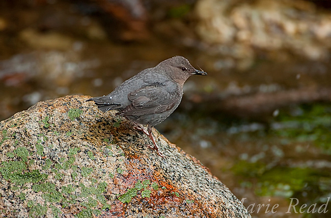 American Dipper (Cinclus mexicanus) holding food (mayfly?), perched on rock, Lee Vining Creek, Mono Lake Basin, California, USA<br /> (Digitally retouched image - rock cleanup)