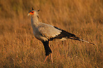 Secretary Bird in Africa