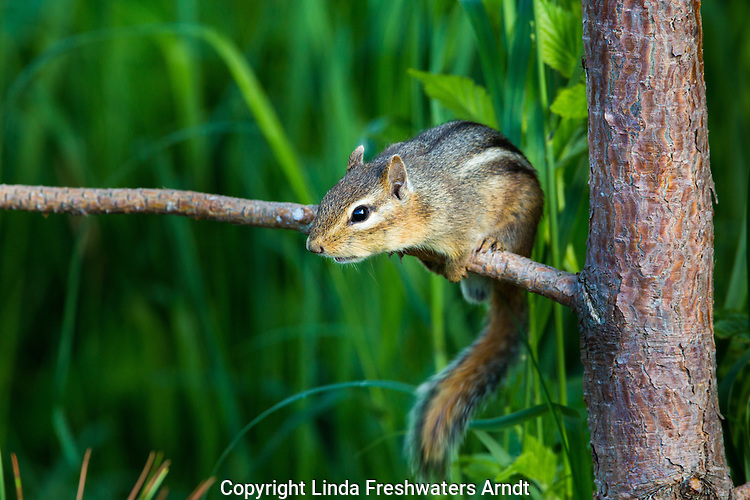 Alarmed eastern chipmunk