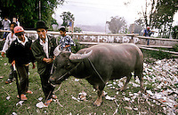 Minang Kabau Bullfighting, Sumatra, Indonesia