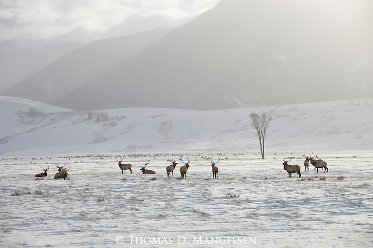 A herd of bull elk stand together on the National Elk Refuge in Wyoming.