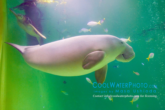 dugong, Dugong dugong, and green sea turtle, Chelonia mydas (c), Indo-Pacific Ocean