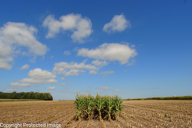 A few rows of corn stand amongst the harvested rows in a field near the Finger Road and South Sugar Bush Road intersection in the Town of Sugar Bush on Sept. 18, 2008.